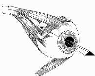 Les muscles de l'oeil